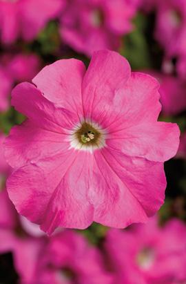 Фото-семена Петуния грандифлора TRITUNIA™ Pink