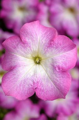 Фото-семена Петуния грандифлора TRITUNIA™ Pink Morn