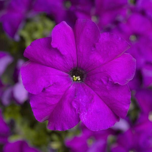 Фото-семена Петуния грандифлора TRITUNIA™ Violet