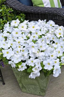 Фото-семена Петуния грандифлора TRITUNIA™ White