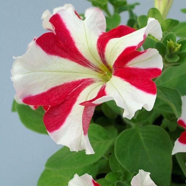 Фото-семена Петуния грандифлора Tango F1 Red Star