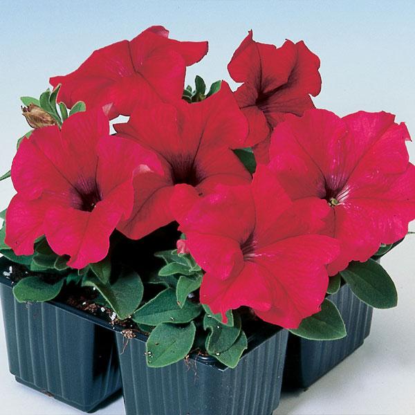 Фото-семена Петуния грандифлора Tango F1 Red