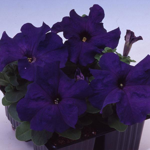 Фото-семена Петуния грандифлора Tango F1 Blue