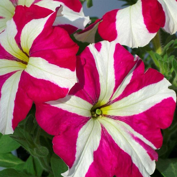 Фото-семена Петуния грандифлора Tango F1 Rose Star