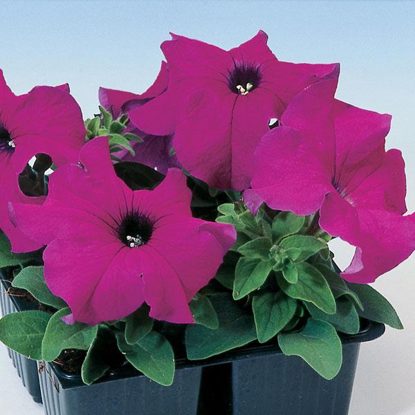 Фото-семена Петуния грандифлора Tango F1 Violet