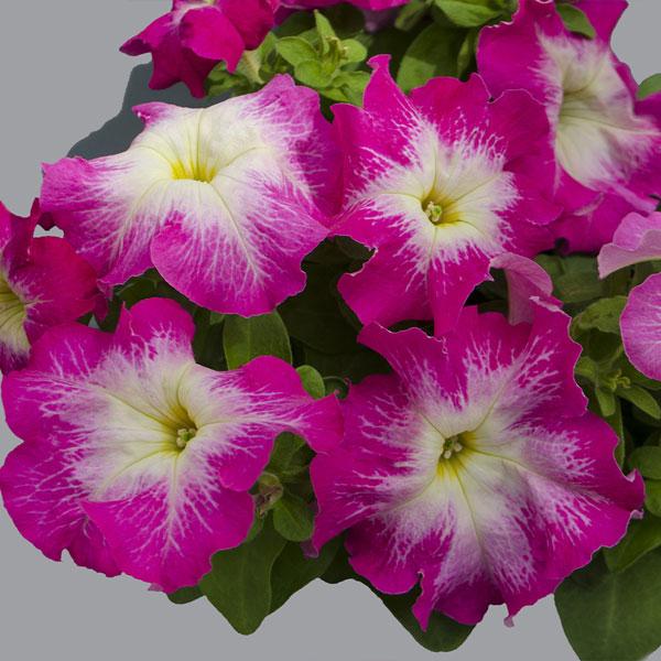 Фото-семена Петуния грандифлора Limbo F1 Rose Morn