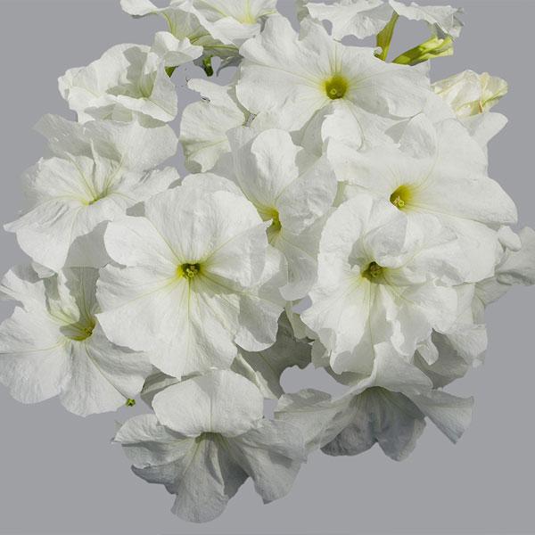 Фото-семена Петуния грандифлора Limbo F1 White