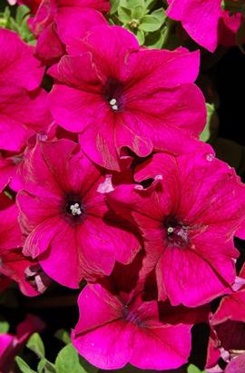 Фото-семена Петуния грандифлора Limbo F1 Burgundy