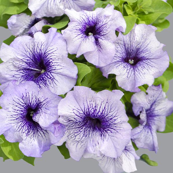 Фото-семена Петуния грандифлора Limbo F1 Blue Veined