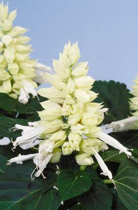 Фото-семена Сальвия Vista(Виста) White