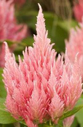 Фото-семена Целозия Ice Cream Pink