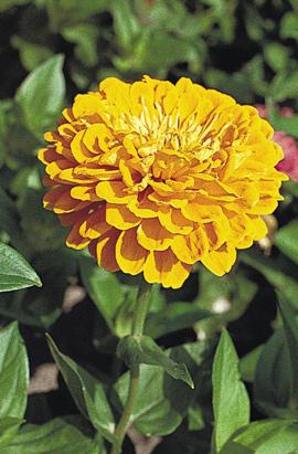 Фото-семена Цинния Benary s Giant: Golden Yellow/Золотисто-желтая (на срезку)