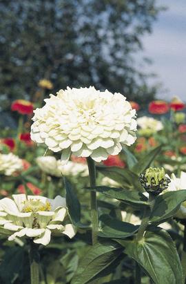 Фото-семена Цинния Benary s Giant: White/Белая (на срезку)