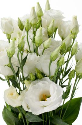 Фото-семена Эустома махровая ABC F1  1 White