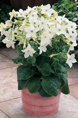 Фото-семена Табак крылатый Saratoga F1 White