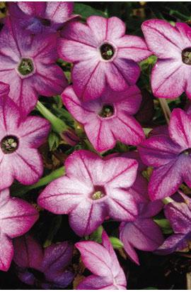 Фото-семена Табак крылатый Saratoga F1 Purple Bicolor