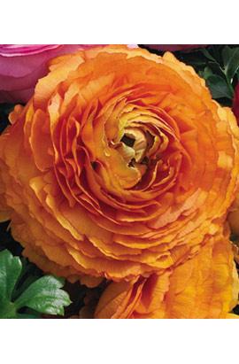 Фото-семена Ранункулюс Magic F1 Orange АР