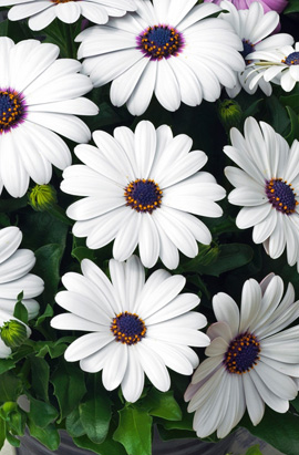 Фото-семена Остеоспермум Asti F1 White