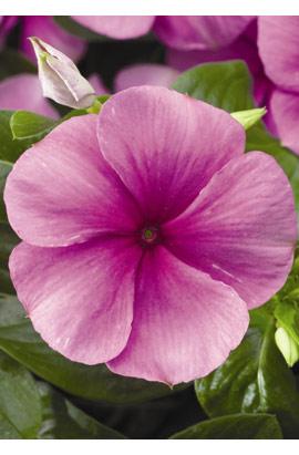 Фото-семена Катарантус SunStorm Deep Lilac