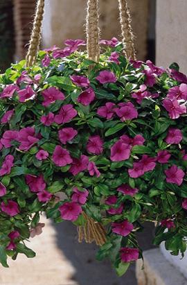 Фото-семена Катарантус ампельный Mediterranean Lilac