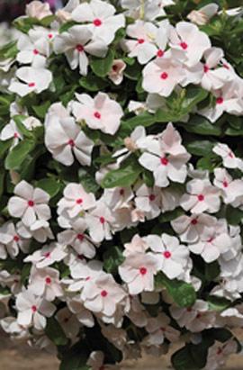 Фото-семена Катарантус ампельный Mediterranean Polka Dot