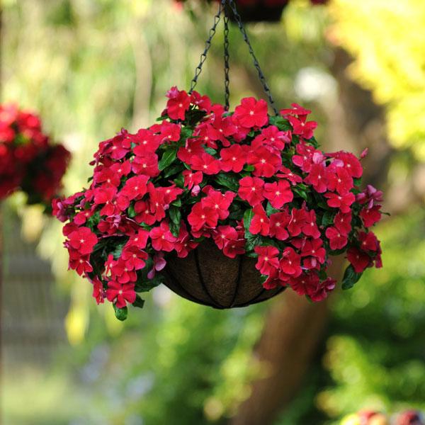 Фото-семена Катарантус ампельный Mediterranean XP Dark Red