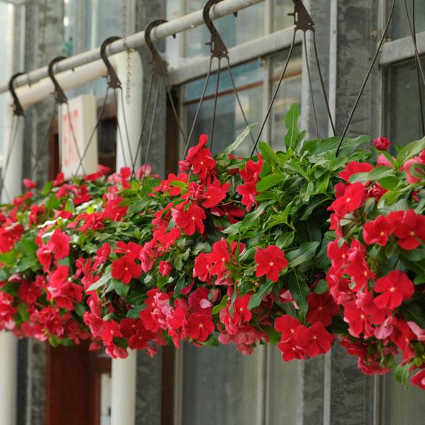 Фото-семена Катарантус ампельный Mediterranean XP Red