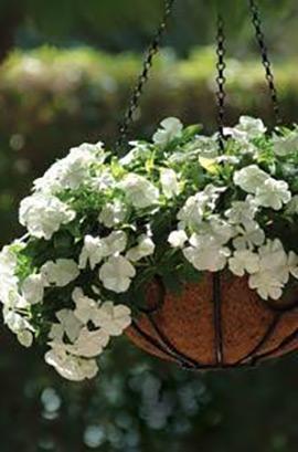Фото-семена Катарантус ампельный Mediterranean XP White