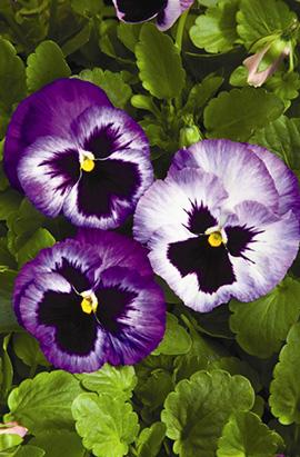 Фото-семена Виола витрокка Colossus® F1 Lavender Surprise