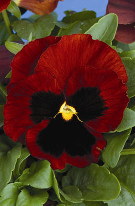 Фото-семена Виола витрокка Colossus® F1 Red with Blotch