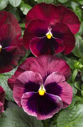 Фото-семена Виола витрокка Colossus® F1 Rose with Blotch