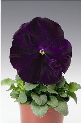 Фото-семена Виола витрокка Colossus® F1 Purple with Blotch
