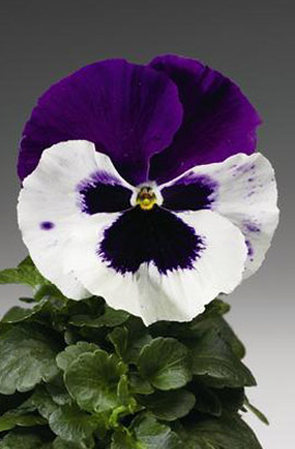 Фото-семена Виола витрокка Colossus® F1 White with Purple Wing