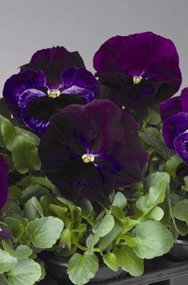 Фото-семена Виола витрокка Colossus® F1 Neon Violet