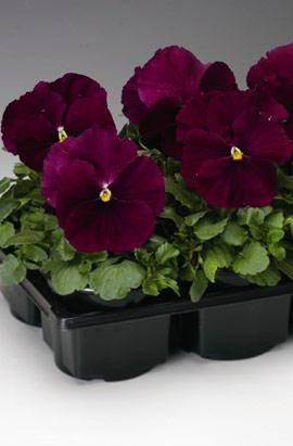Фото-семена Виола витрокка Colossus® F1 Pure Rose