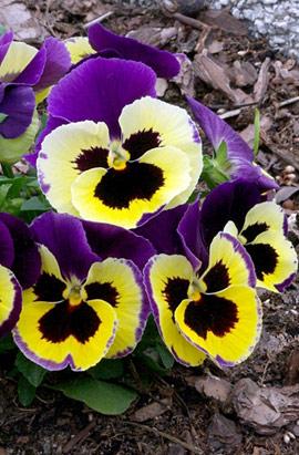 Фото-семена Виола витрокка Colossus® F1 Tricolor