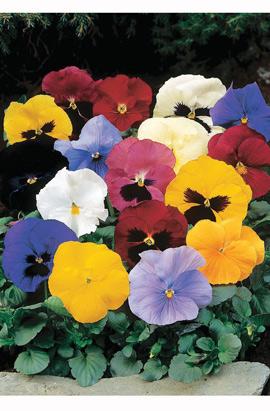 Фото-семена Виола витрокка Delta® F1 All Colors Mix