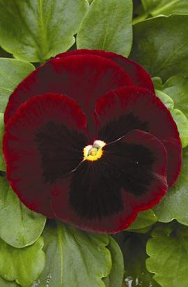 Фото-семена Виола витрокка Mammoth  F1 Big Red