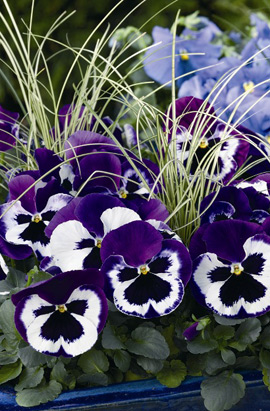 Фото-семена Виола витрокка Delta® F1 Violet & White