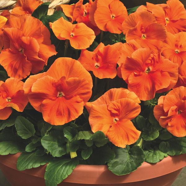 Фото-семена Виола витрокка Delta® F1 Pure Orange