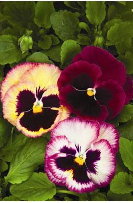 Фото-семена Виола витрокка Colossus® F1 Rose Surprise