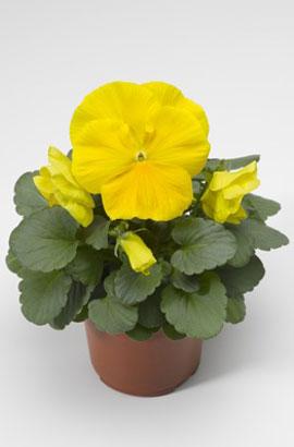 Фото-семена Виола витрокка Colossus® F1 Pure Golden Yellow