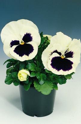 Фото-семена Виола витрокка Delta® F1 White with Blotch