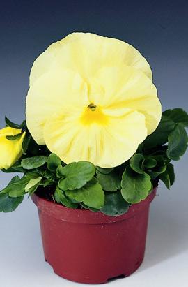 Фото-семена Виола витрокка Delta® F1 Pure Primrose