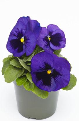 Фото-семена Виола витрокка Inspire® DeluXXe  Blue Surprise