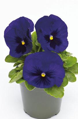 Фото-семена Виола витрокка Inspire® DeluXXe Deep Blue Blotch