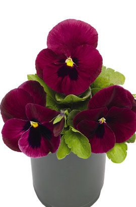 Фото-семена Виола витрокка Inspire® DeluXXe Deep Rose Blotch