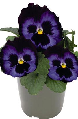 Фото-семена Виола витрокка Inspire® DeluXXe Denim