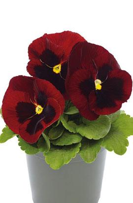 Фото-семена Виола витрокка Inspire® DeluXXe Red Blotch