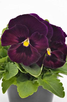Фото-семена Виола витрокка Inspire® DeluXXe Rose Velour